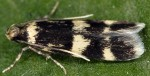 Oegoconia quadripuncta (I, G)