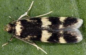 Oegoconia quadripuncta 3