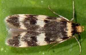Oegoconia quadripuncta 4