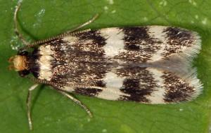 Oegoconia quadripuncta 5