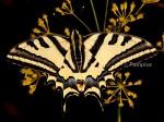 Papilio alexanor (I, O, L1, L2, L3, L4, L5, P)