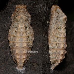 Papilio alexanor p