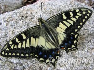 Papilio hospiton 1