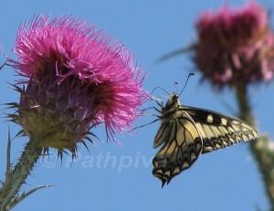 Papilio hospiton 2