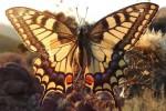 Papilio machaon (I, O, L3, L5, P)