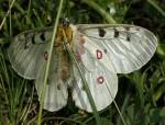Parnassius phoebus (I)