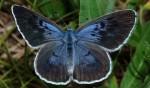 Phengaris arion (I)