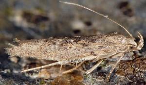Phthorimaea operculella 2