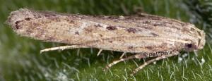 Phthorimaea operculella 3