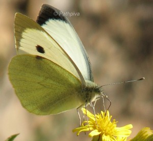 Pieris brassicae 1
