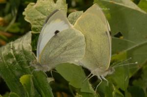 Pieris brassicae a