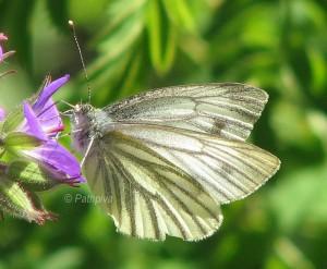 Pieris bryoniae 3