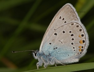 Polyommatus amandus 2