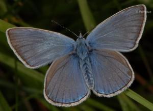 Polyommatus amandus 3