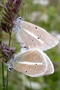 Polyommatus damon a