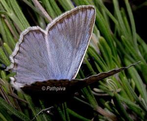 Polyommatus daphnis 1