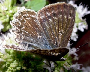 Polyommatus daphnis 3