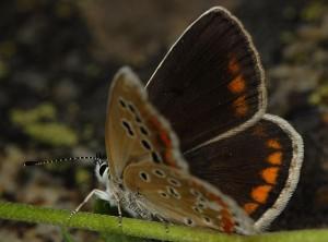 Polyommatus dorylas 3