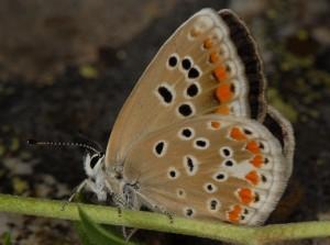 Polyommatus dorylas 4