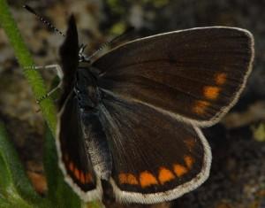 Polyommatus dorylas 5