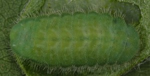 Polyommatus dorylas L5 1