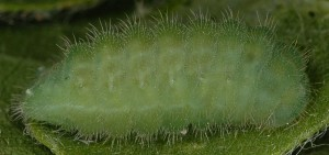 Polyommatus dorylas L5 2