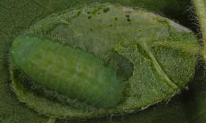 Polyommatus dorylas L5 5