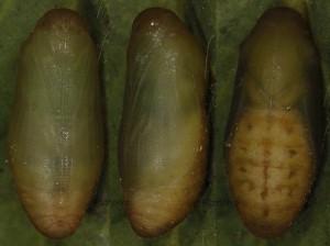 Polyommatus dorylas p