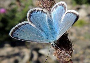 Polyommatus eros 06 1