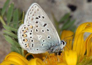 Polyommatus eros 06 5