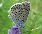 Polyommatus escheri (I)