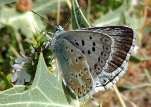 Polyommatus hispana 06 2