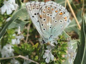 Polyommatus hispana 06 3