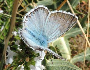 Polyommatus hispana 06 4