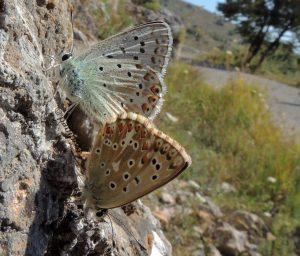 Polyommatus hispana 06 5