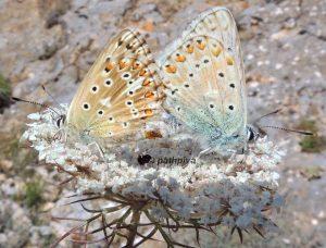 Polyommatus hispana 06 6