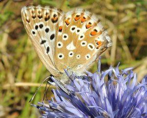 Polyommatus hispana 06 7
