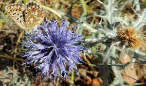 Polyommatus hispana 06 8