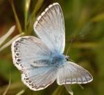 Polyommatus hispana (I)