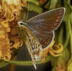 Polyommatus icarus 5