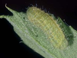 Polyommatus icarus L3