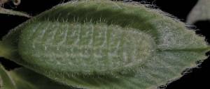 Polyommatus icarus L5