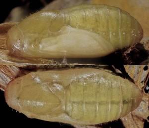 Polyommatus icarus p