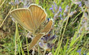Polyommatus ripartii 06 3