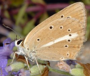 Polyommatus ripartii 06 4
