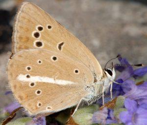 Polyommatus ripartii 06 5