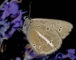 Polyommatus ripartii (I)