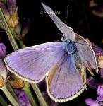 Polyommatus thersites (I, L5)