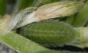 Polyommatus thersites L5 2
