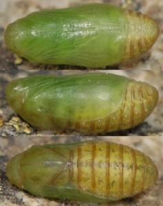 Polyommatus thersites p